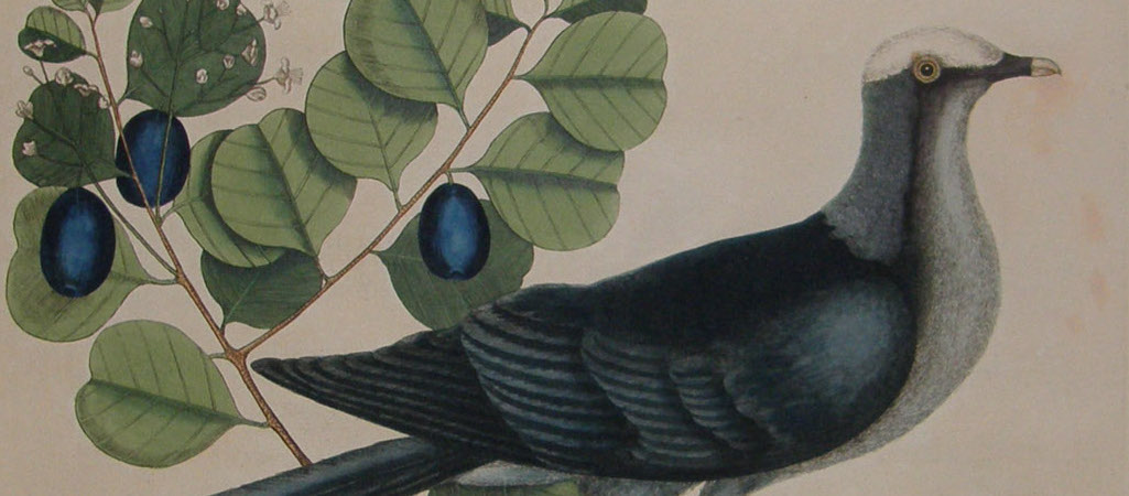 White Crown Pigeon by Mark Catesby